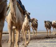 Camel-at-Afar